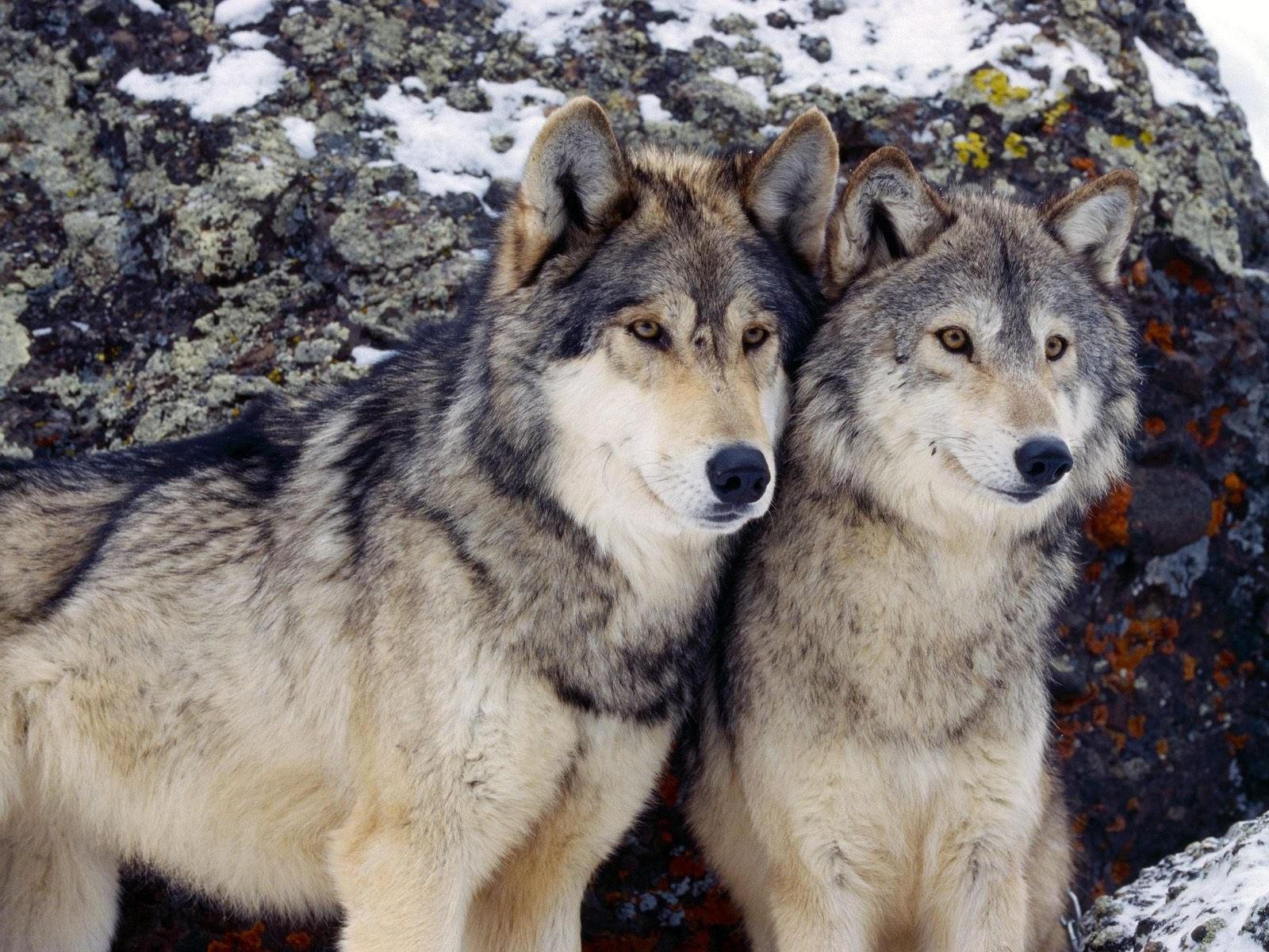 Два волка возле камня