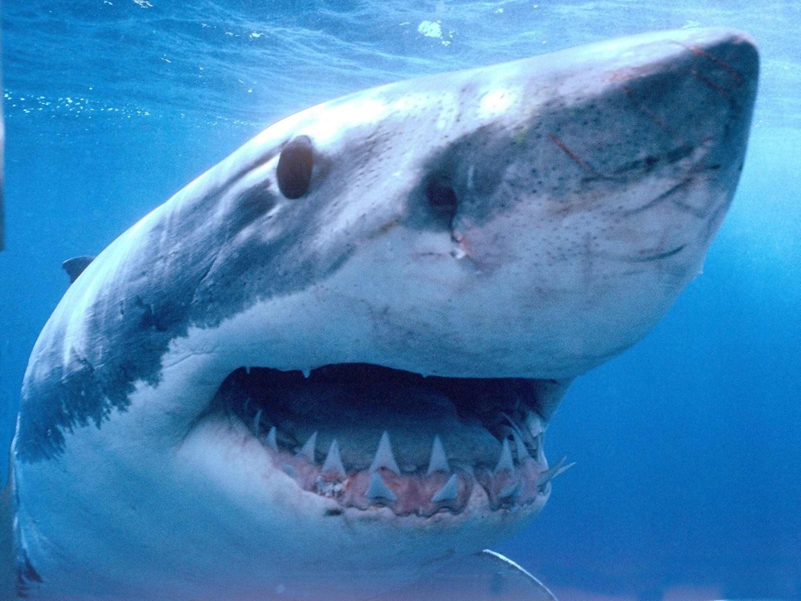 Зубы акулы