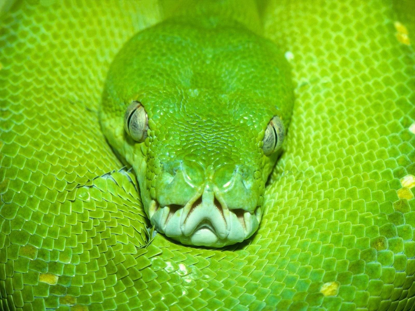 Салатовая змея