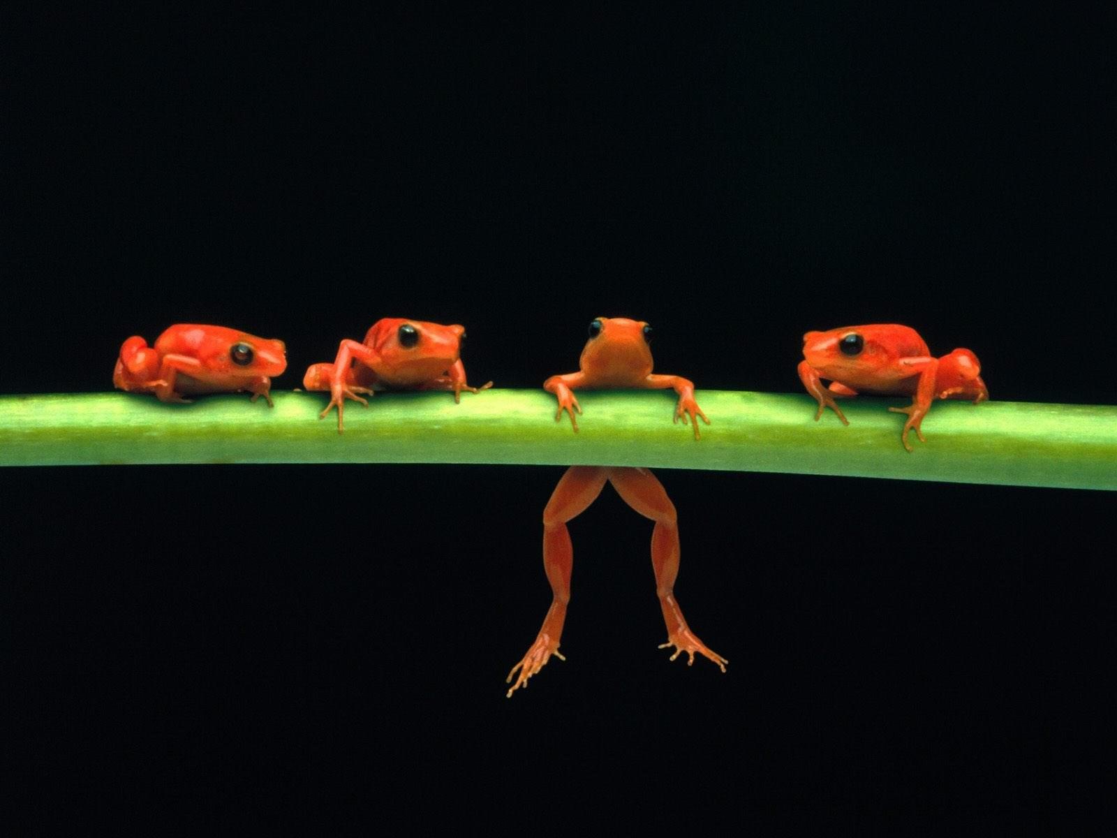 Четыре красных лягушки на стебле