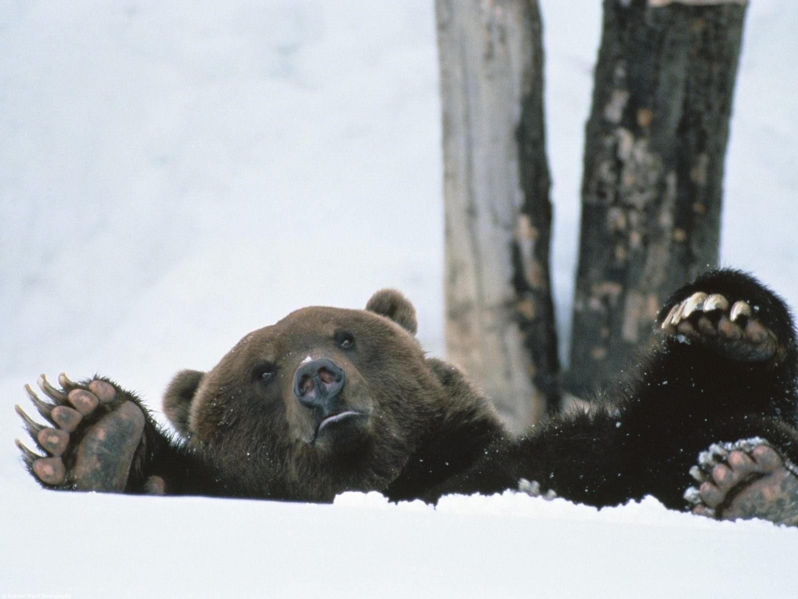 Медведь играется в снегу