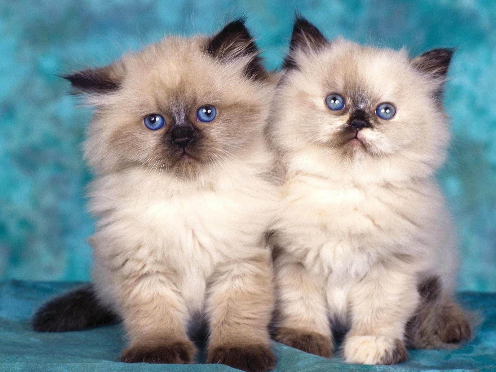 Двое персидских котят