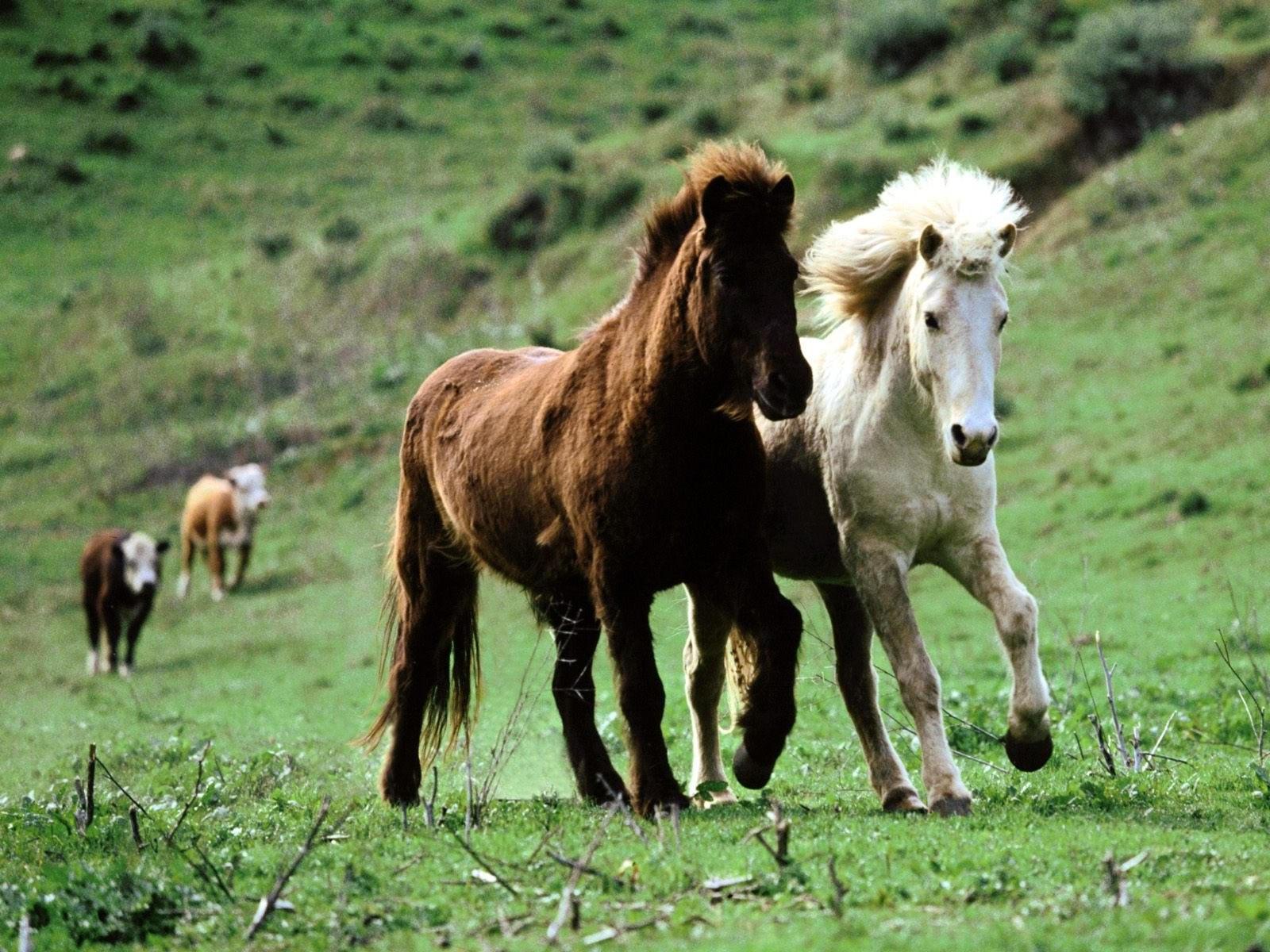Бегущая пара лошадей
