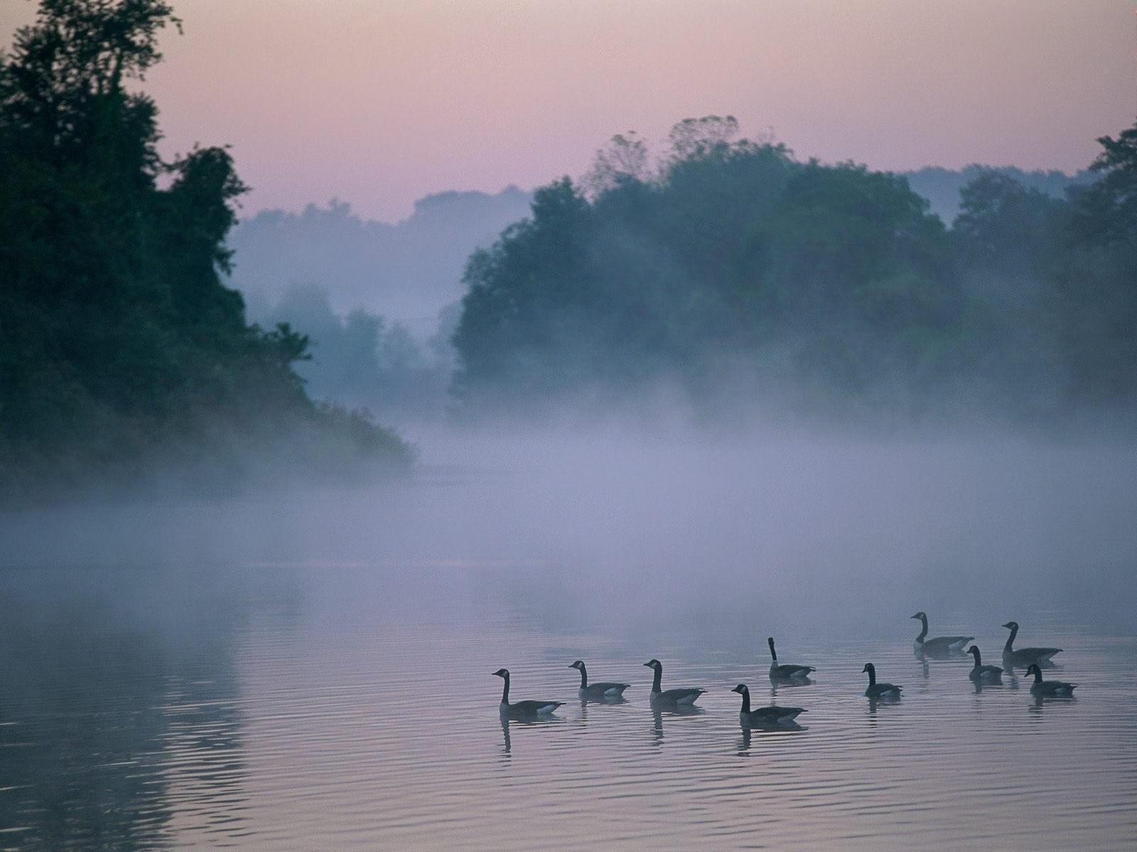 Стая уток  на озере
