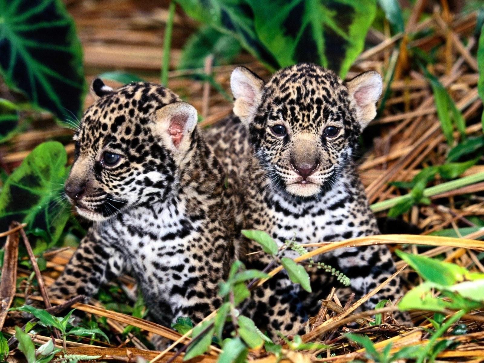 Два маленьких ягуара