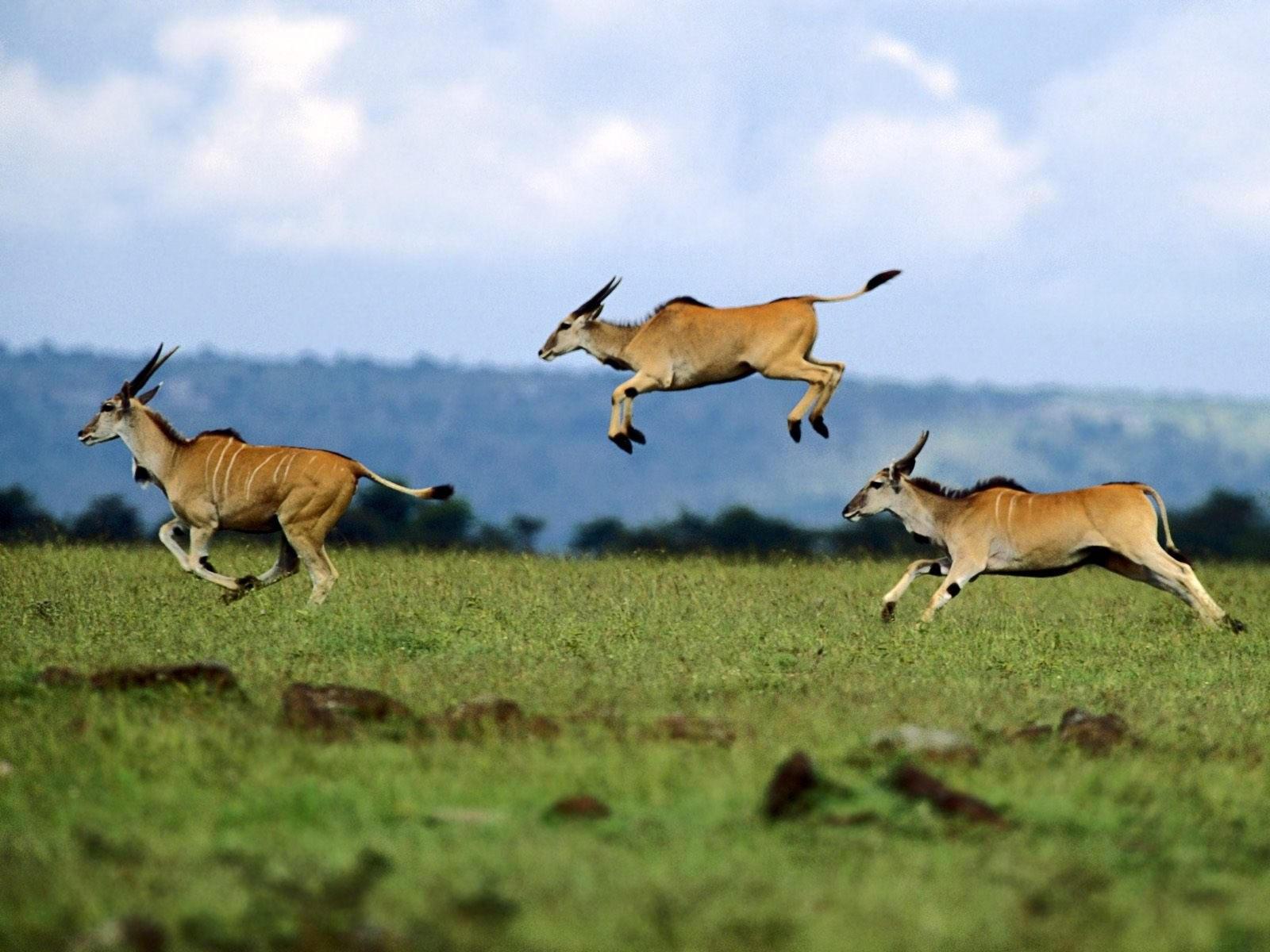 Сайгаки в прыжках