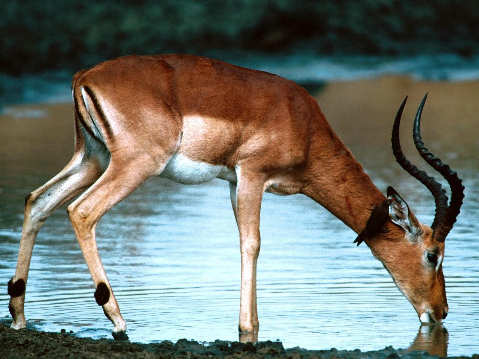 Антилопа пьет воду