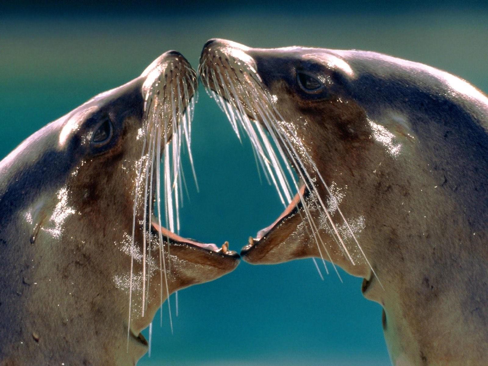 Два морских котика с открытыми пастями