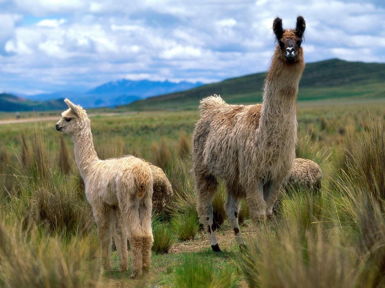 Ламы в степи