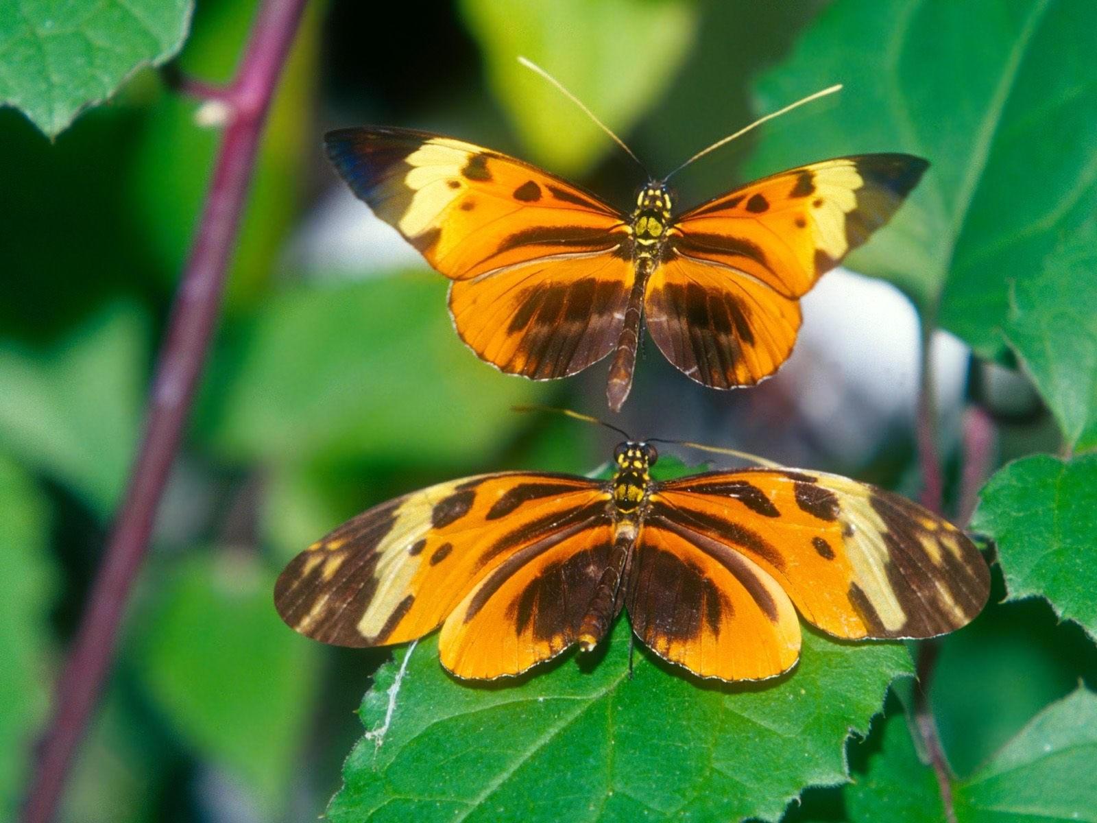 Две желто-коричневые бабочки