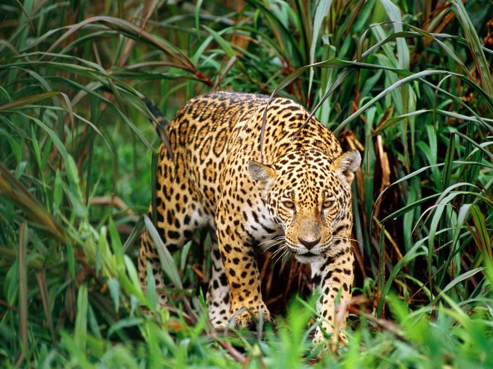 Ягуар в камышах