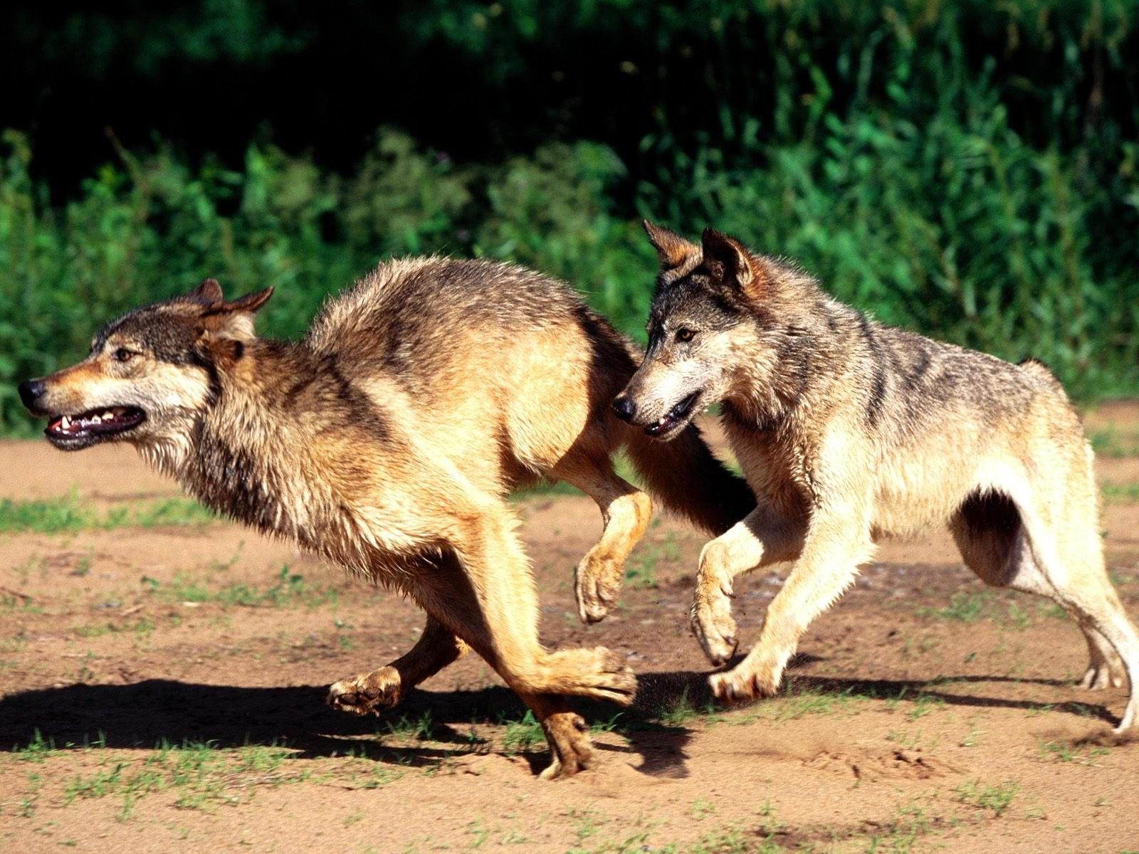 Перегонки волков