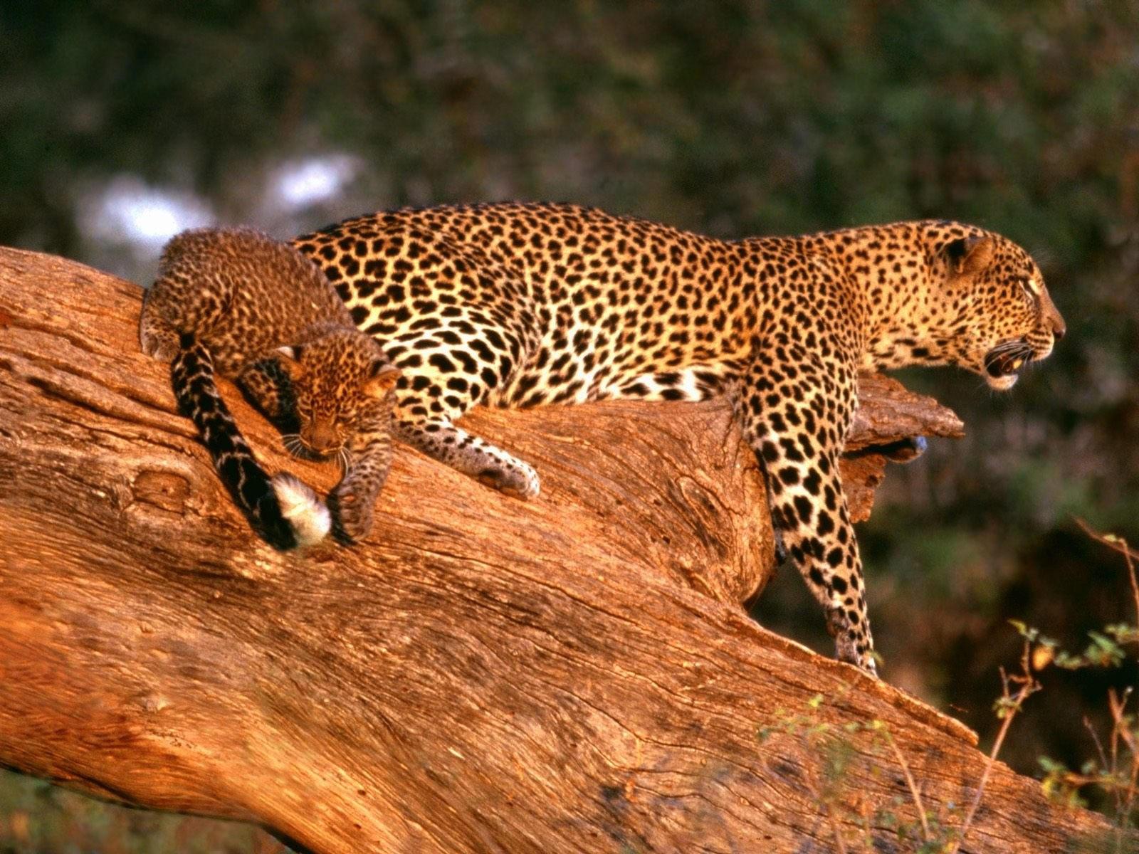 Ягуар с малышом на дереве