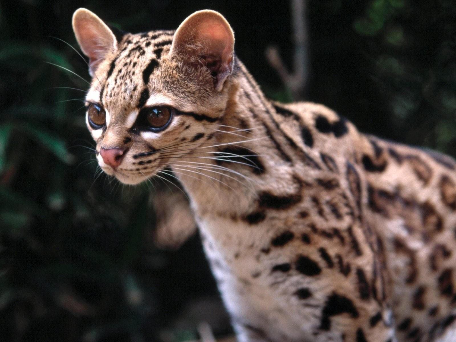 Морда маргай или длиннохвостой кошки
