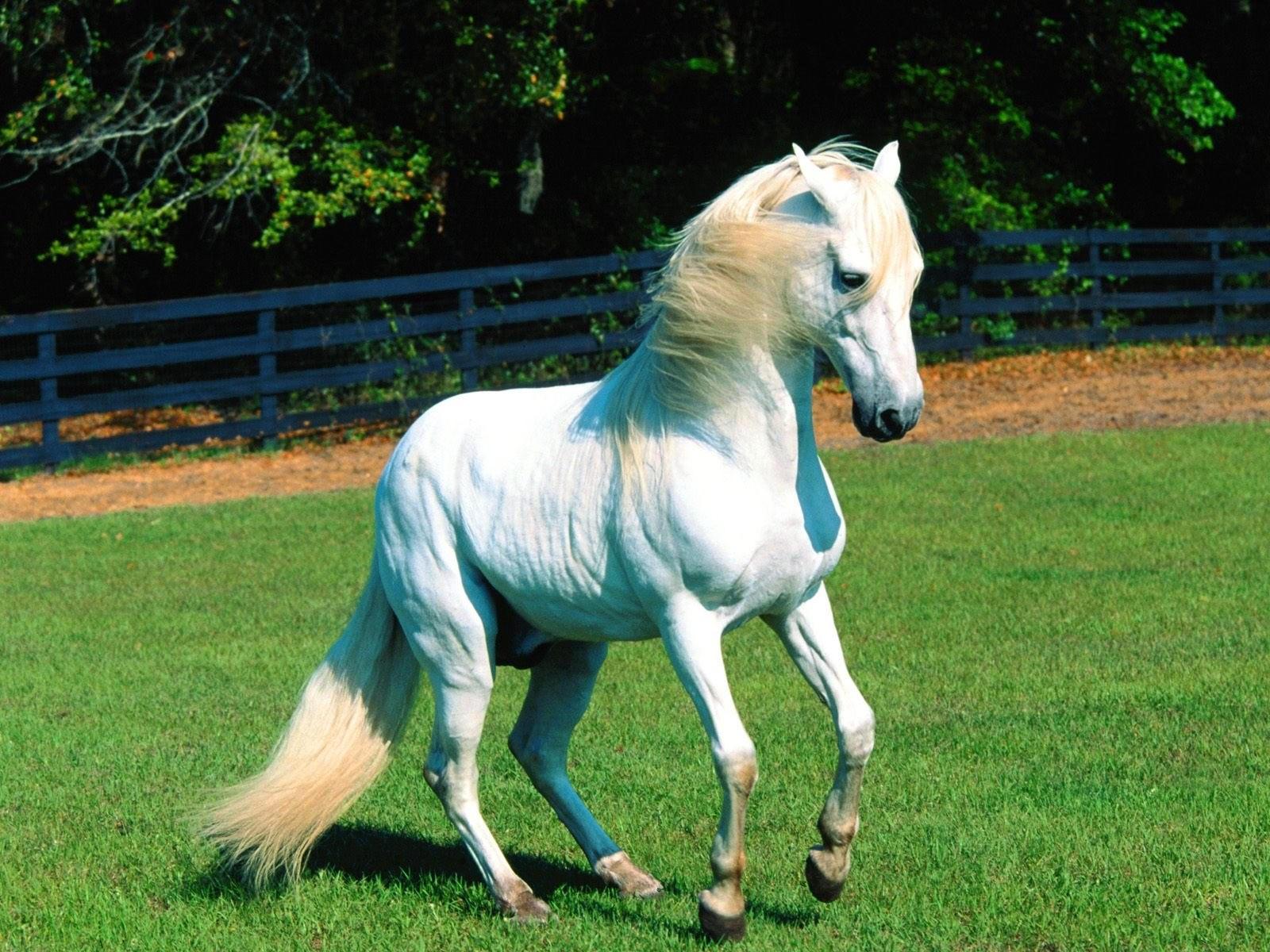 Белая лошадь в загоне