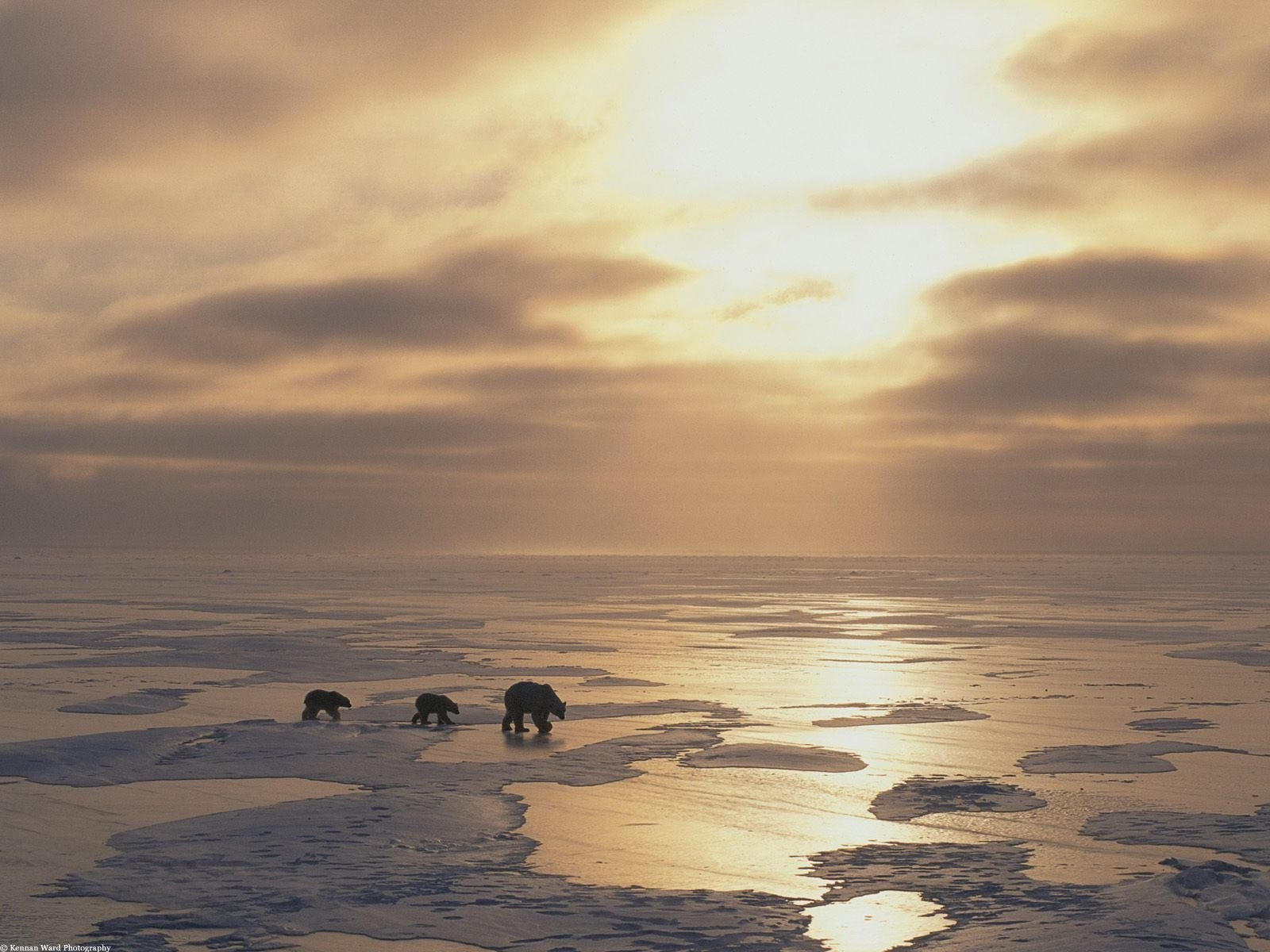 Медведи идут по замершему морю