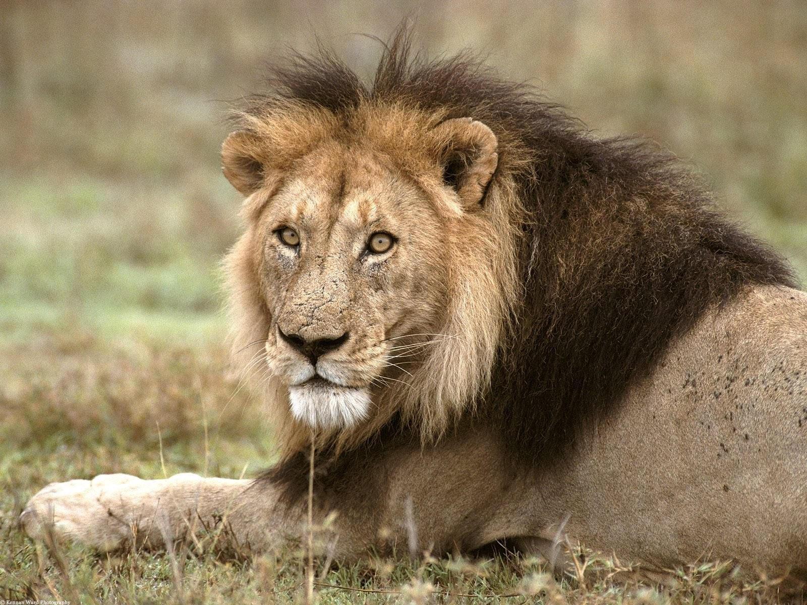 Внимательный взгляд льва