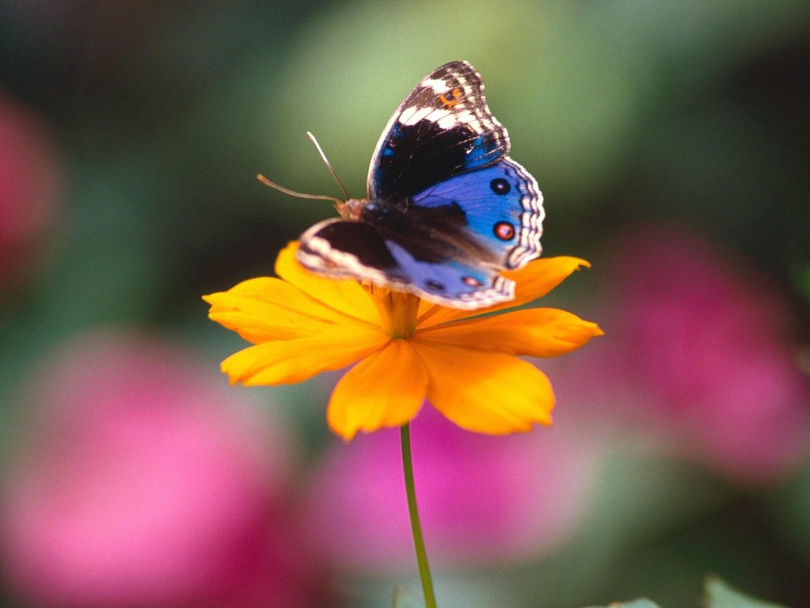 Синяя бабочка на желтом цветке