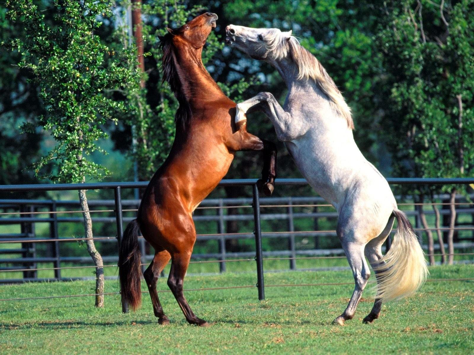 Две лошади встали на дыбы
