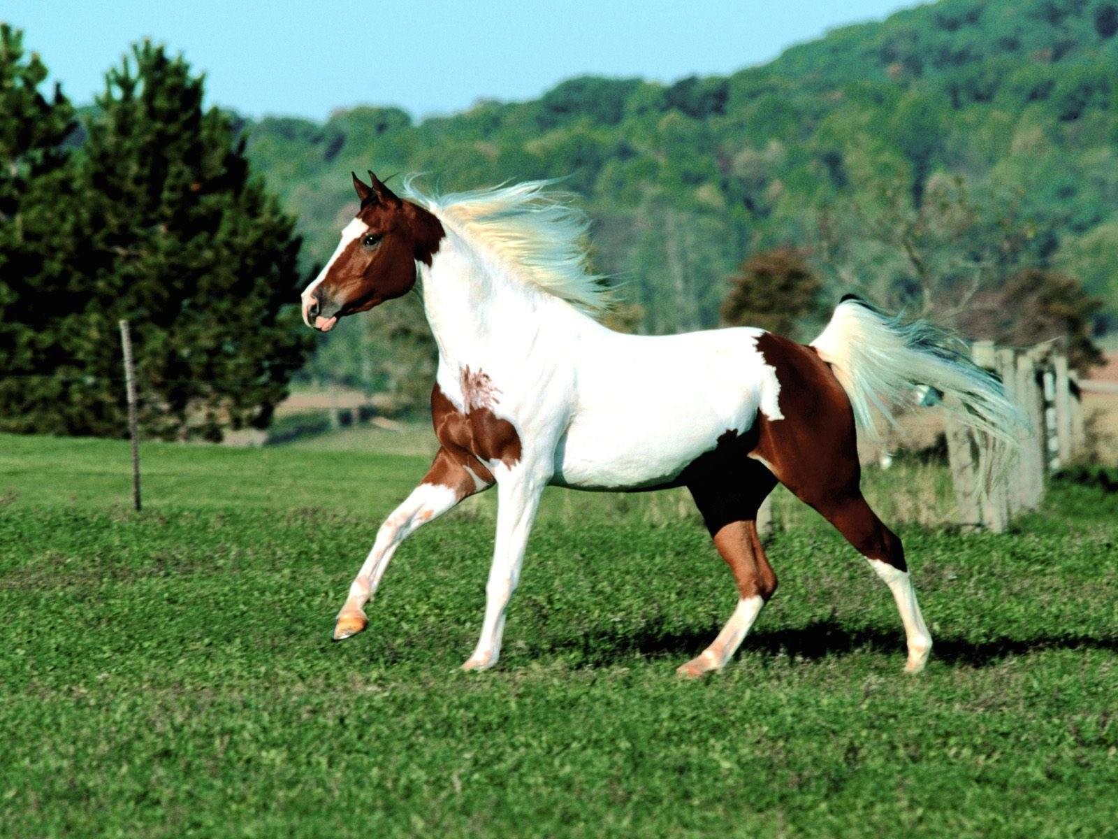 Бело-коричневая лошадь на лугу