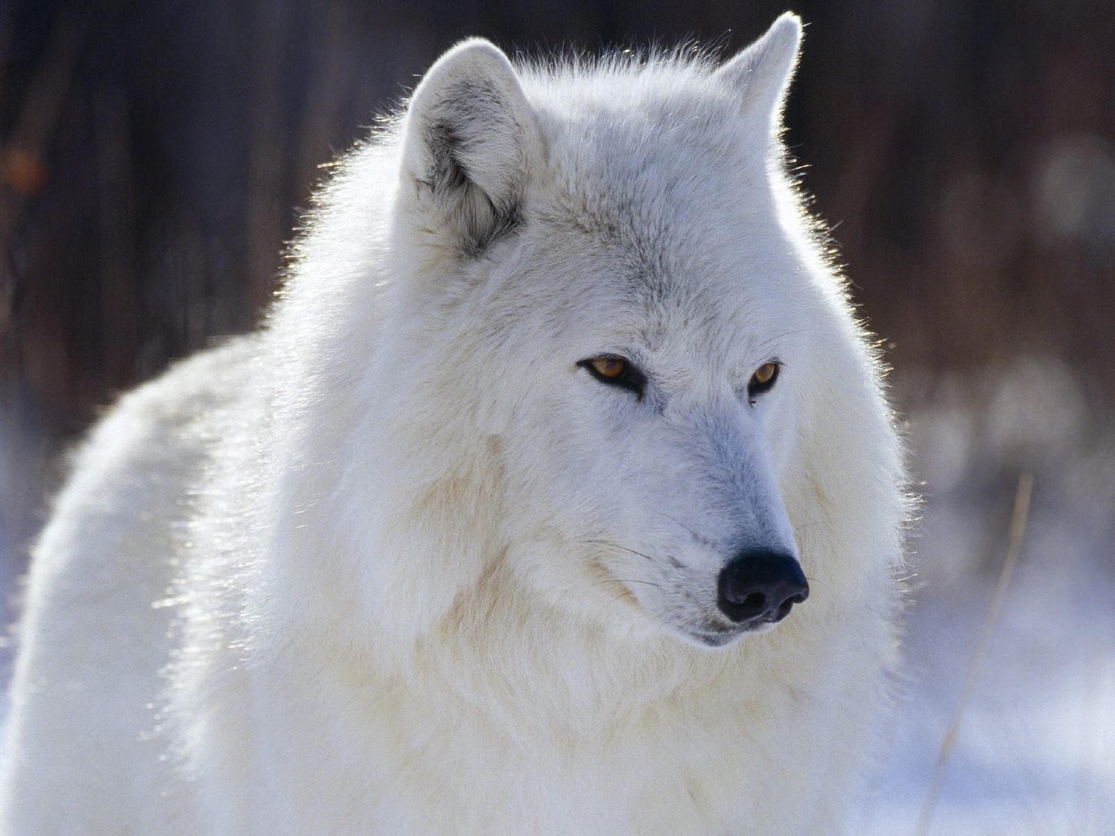 Морда белого волка