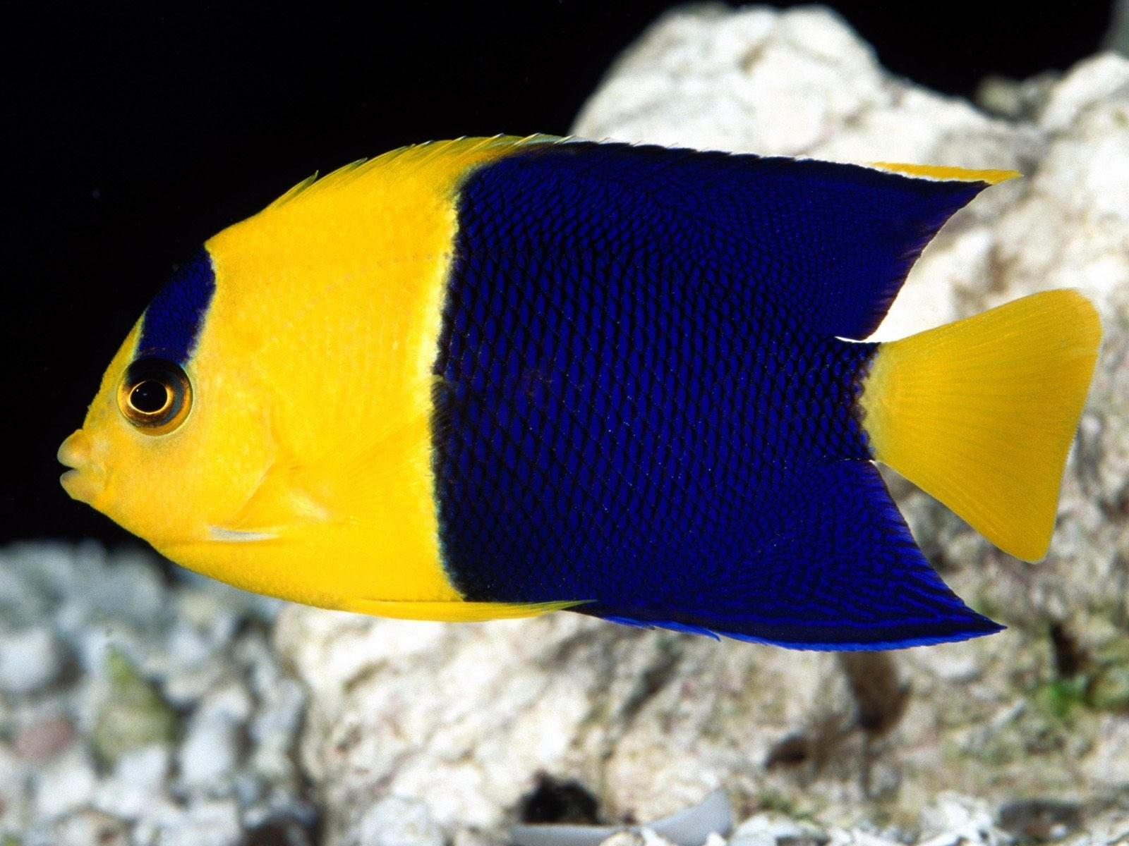 Желто-синяя рыбка возле камней