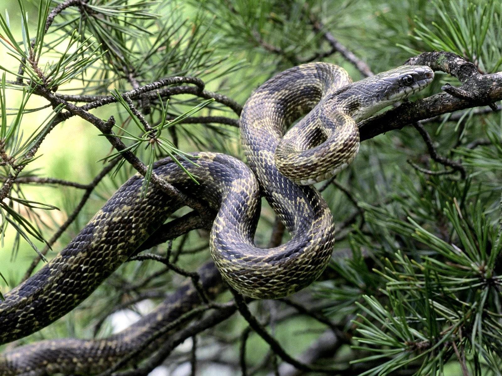 Змея на ели