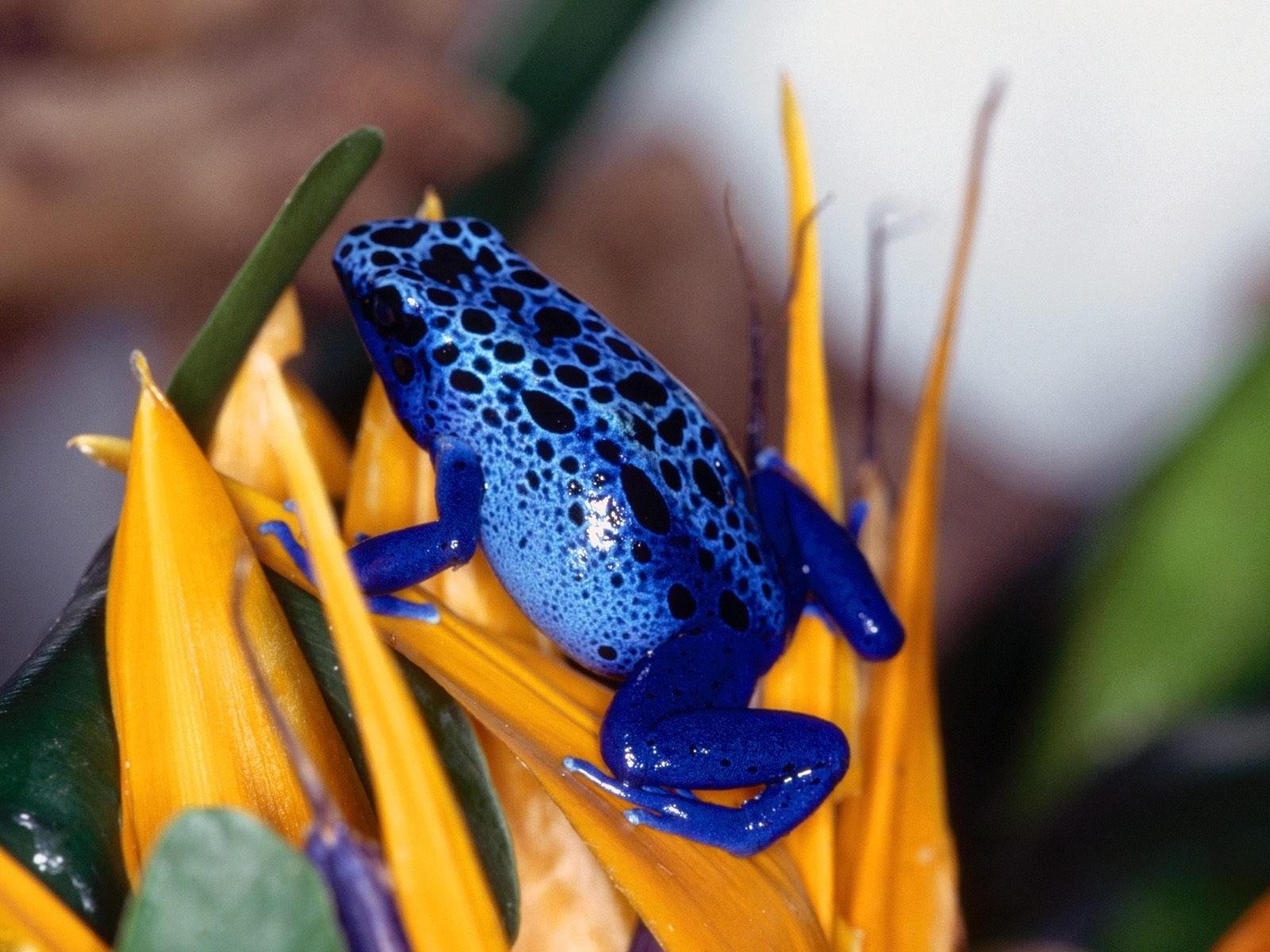 Сине-черная лягушка
