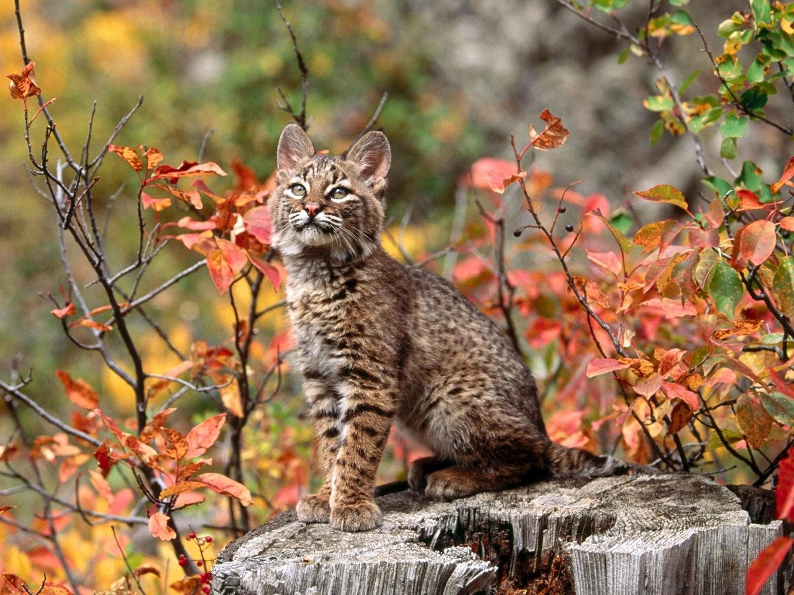 Котёнок бобкэти или рыжей рыси