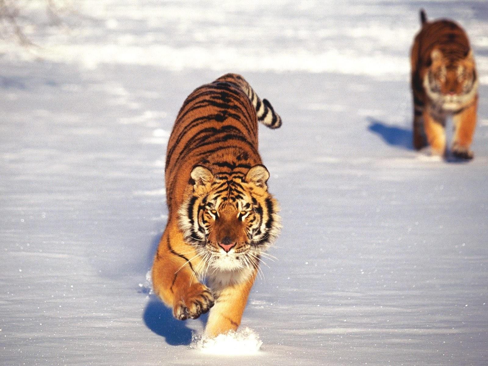 Бегущие по снегу тигры