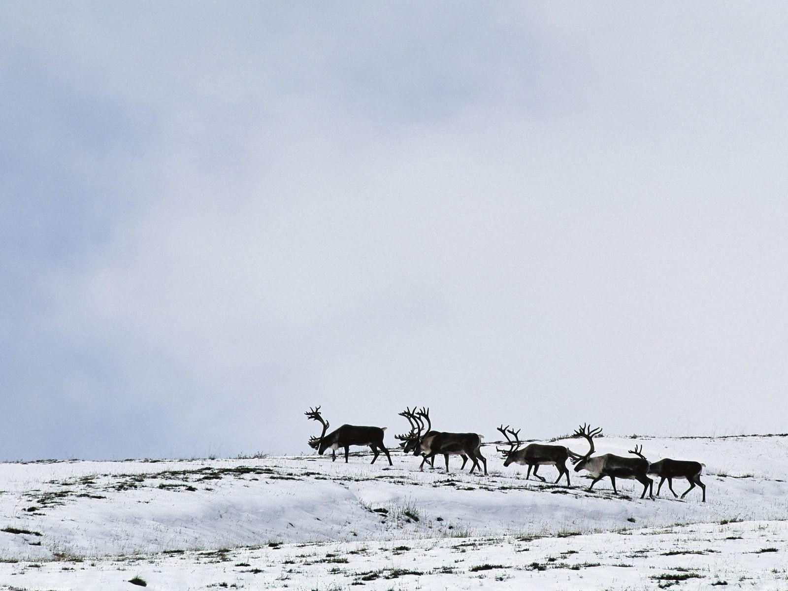 Стадо оленей в пути