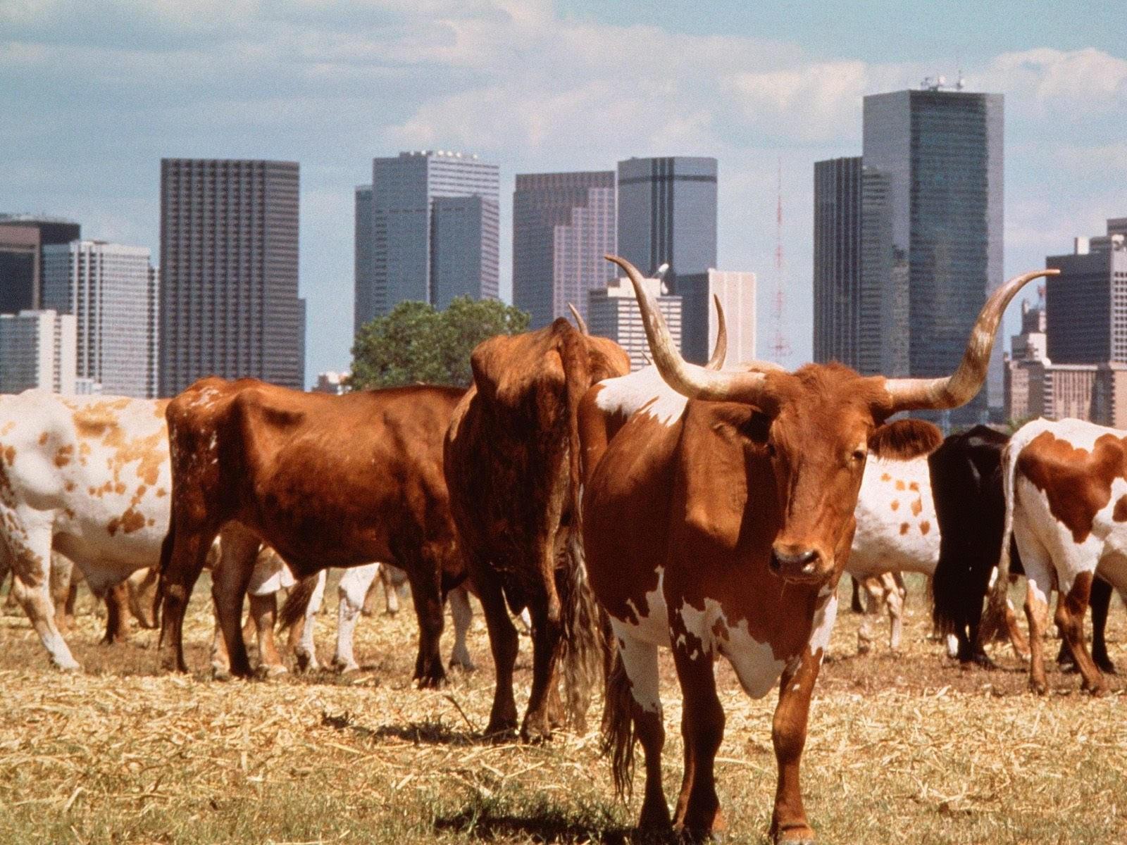 Стадо коров возле города