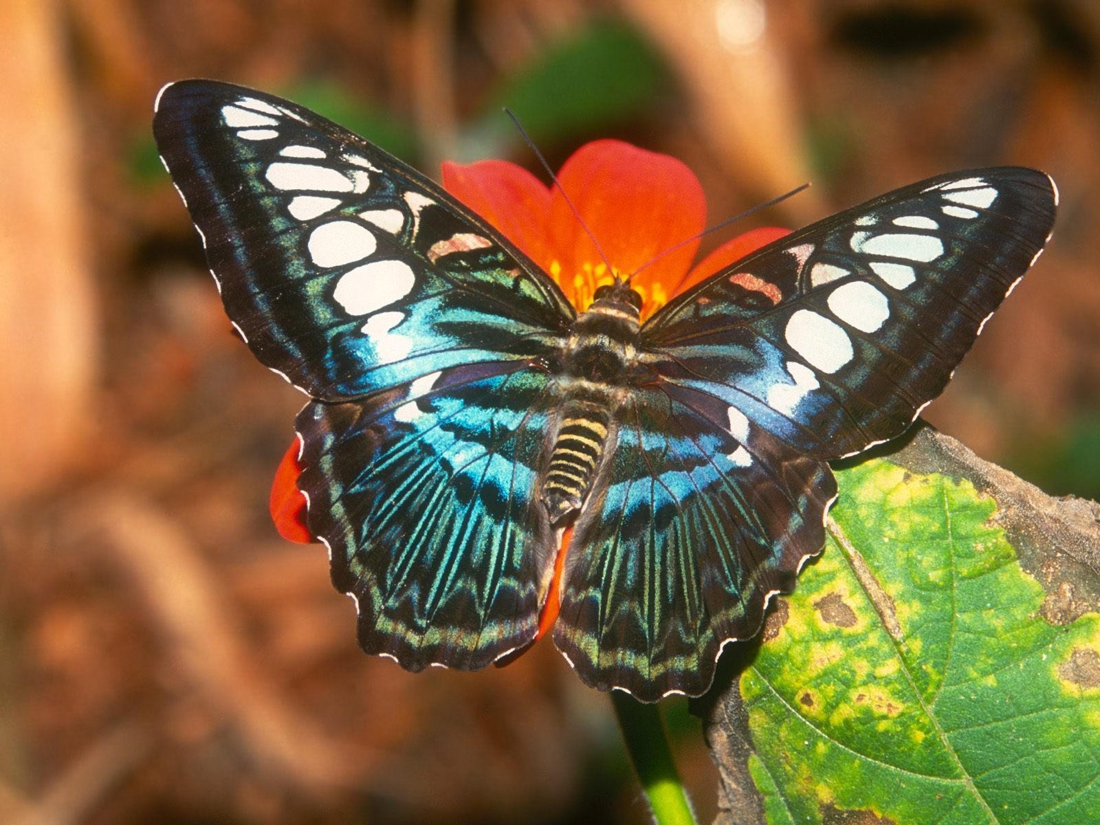 Бабочка темной окраски