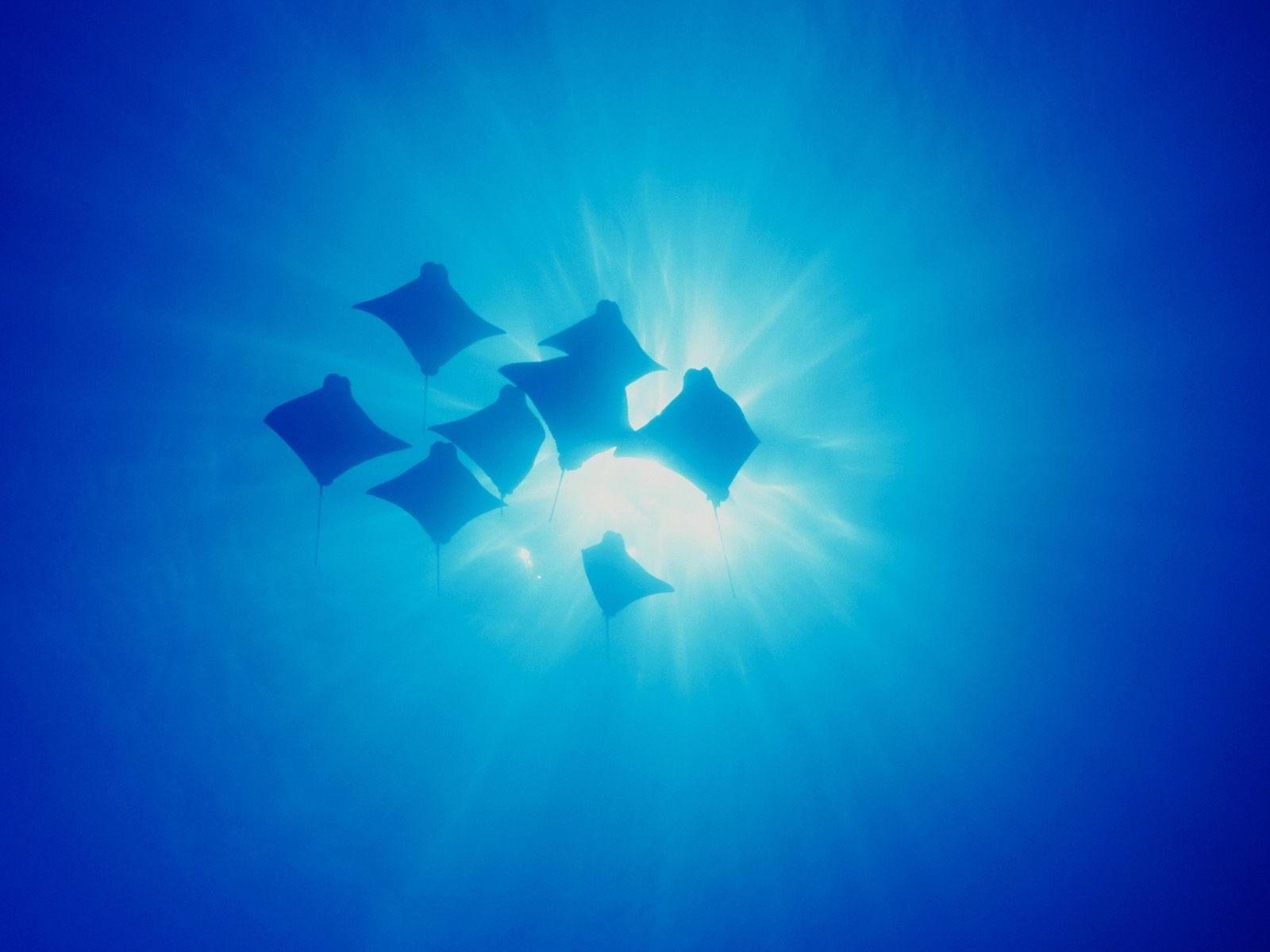 Стая скатов под водой