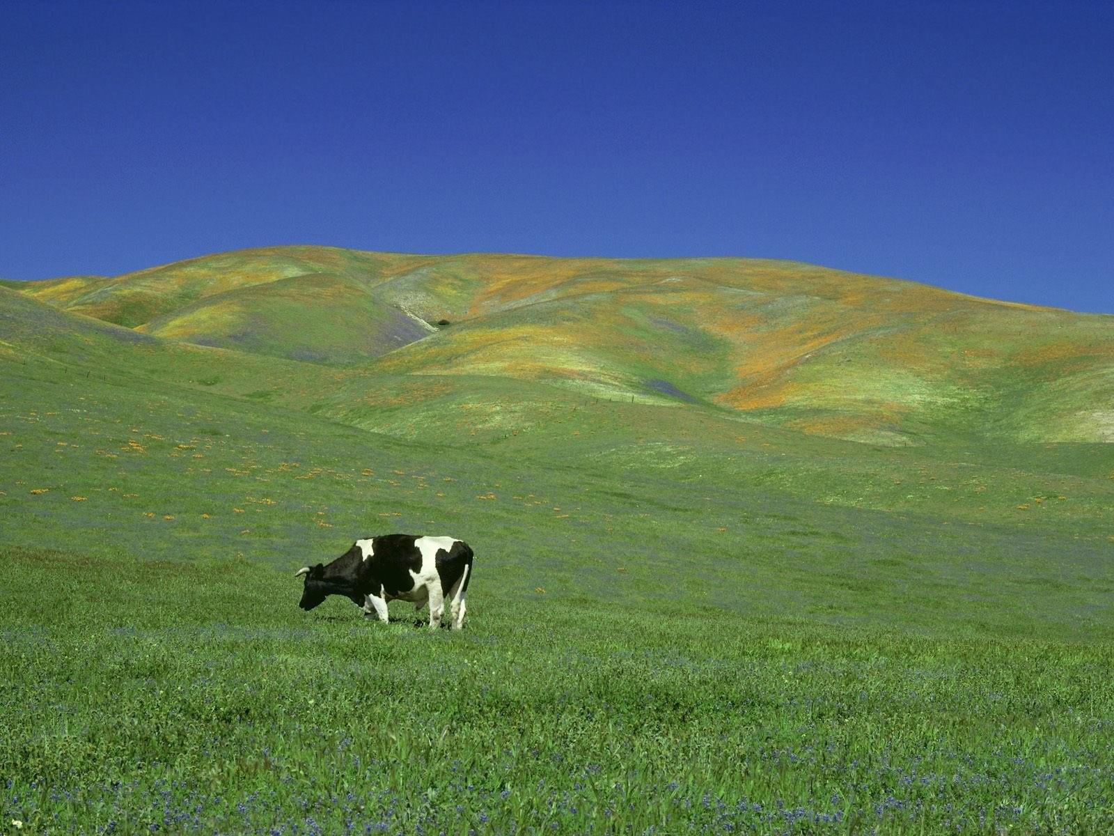 Корова на лугу. Обои с животными, картинки, фото 1600x1200