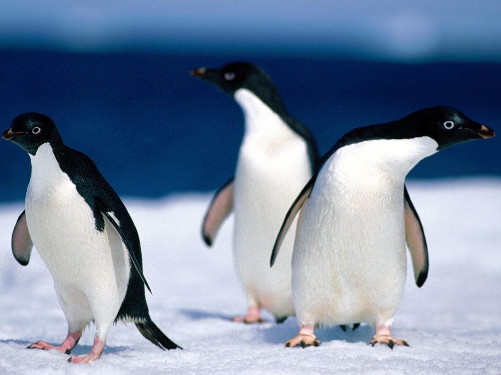Трое пингвинов на снегу