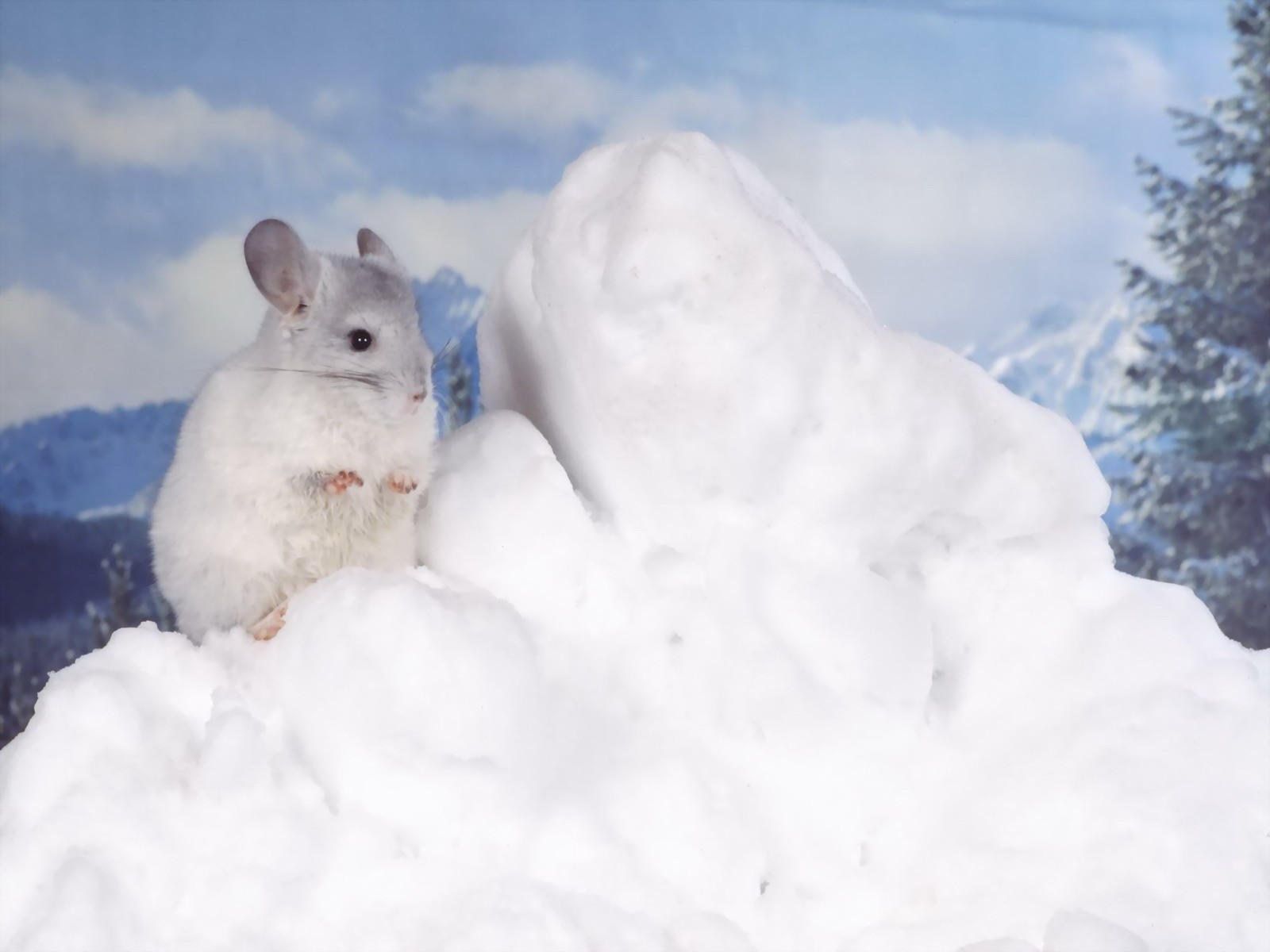 Белая шиншилла на снегу
