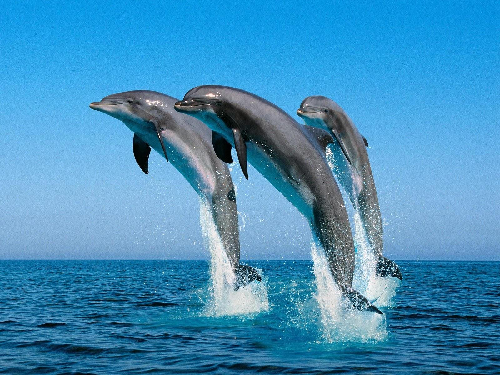 Прыжок трех дельфинов над водой
