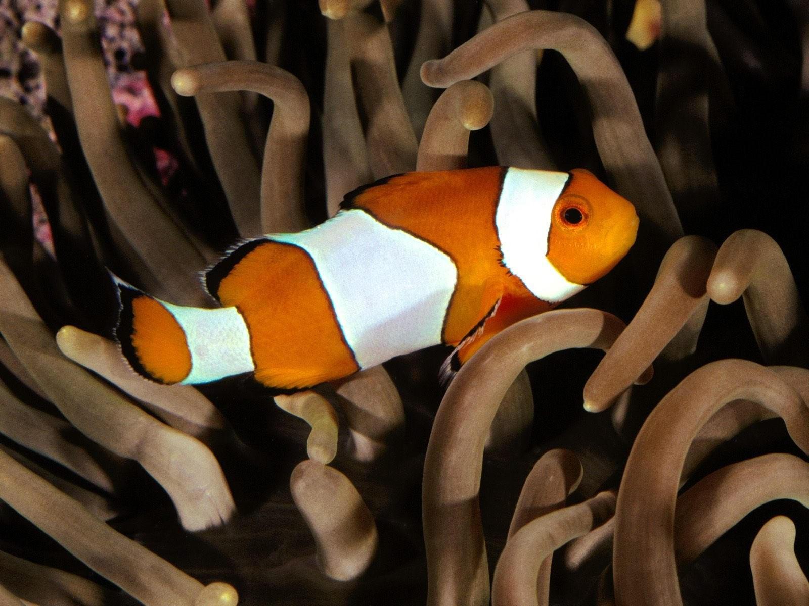 Бело-оранжевая рыбка в водорослях