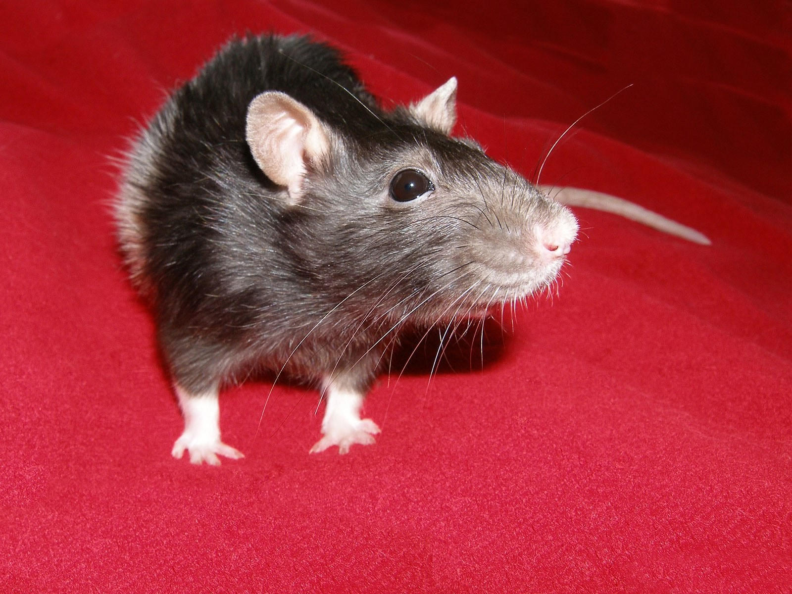 Декоративная мышь
