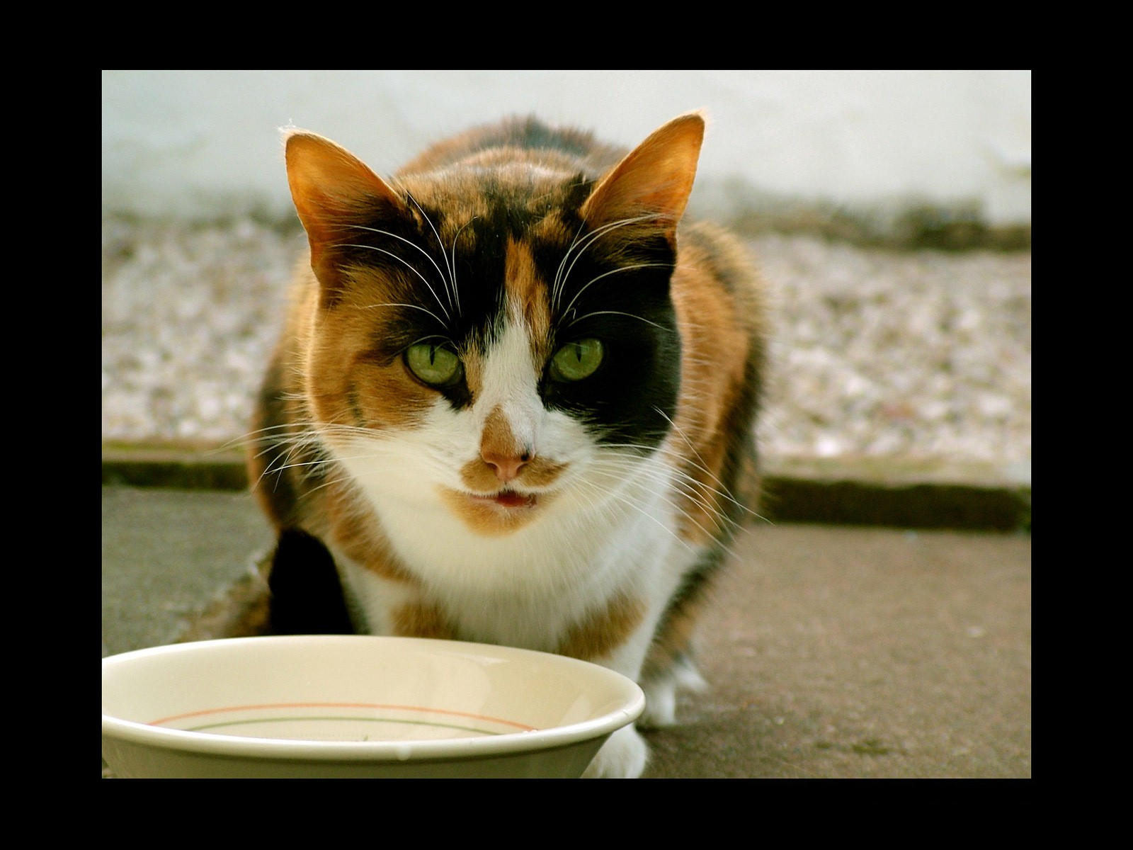 Кот  обедает