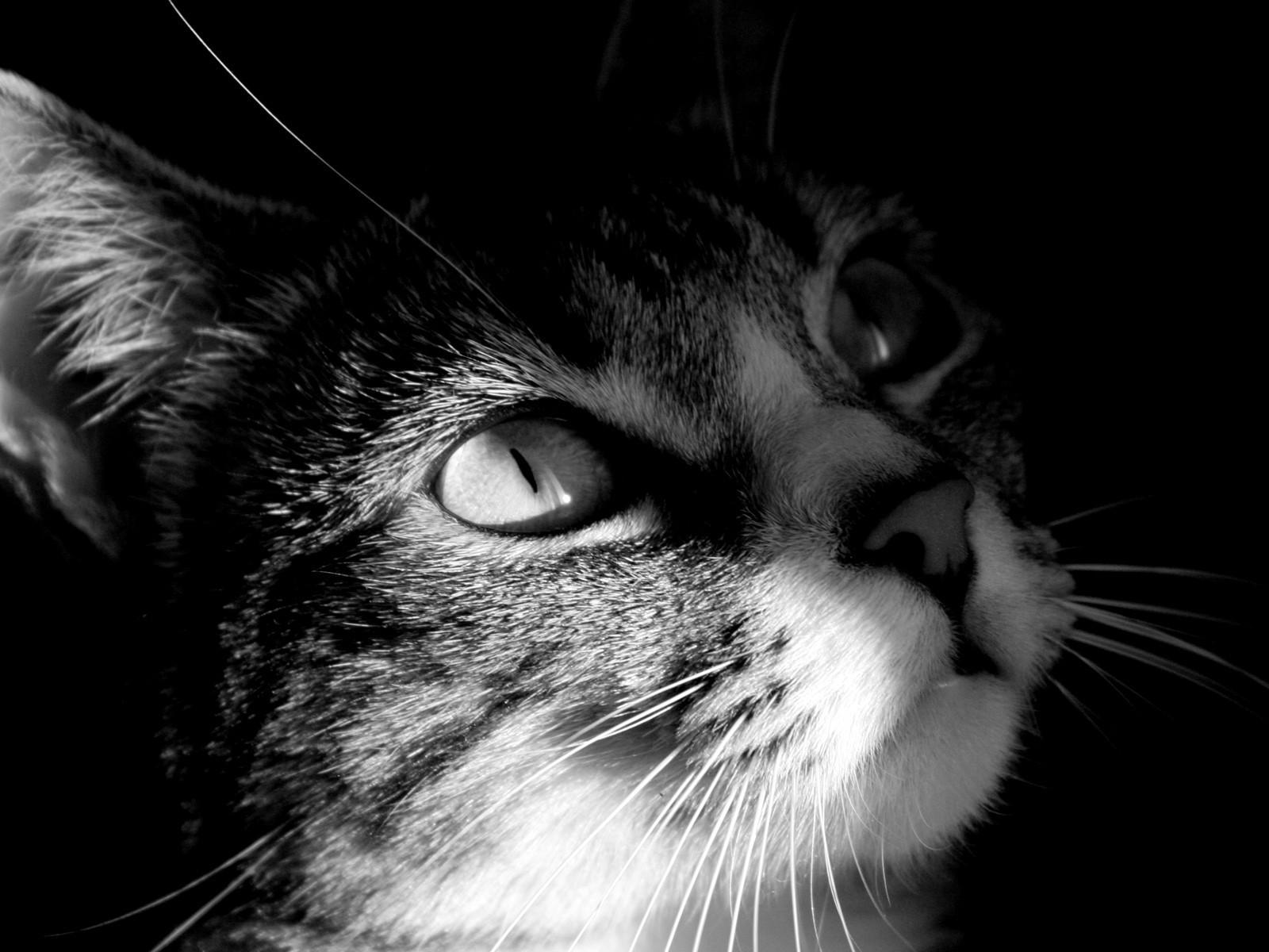 Мордочка серого котенка