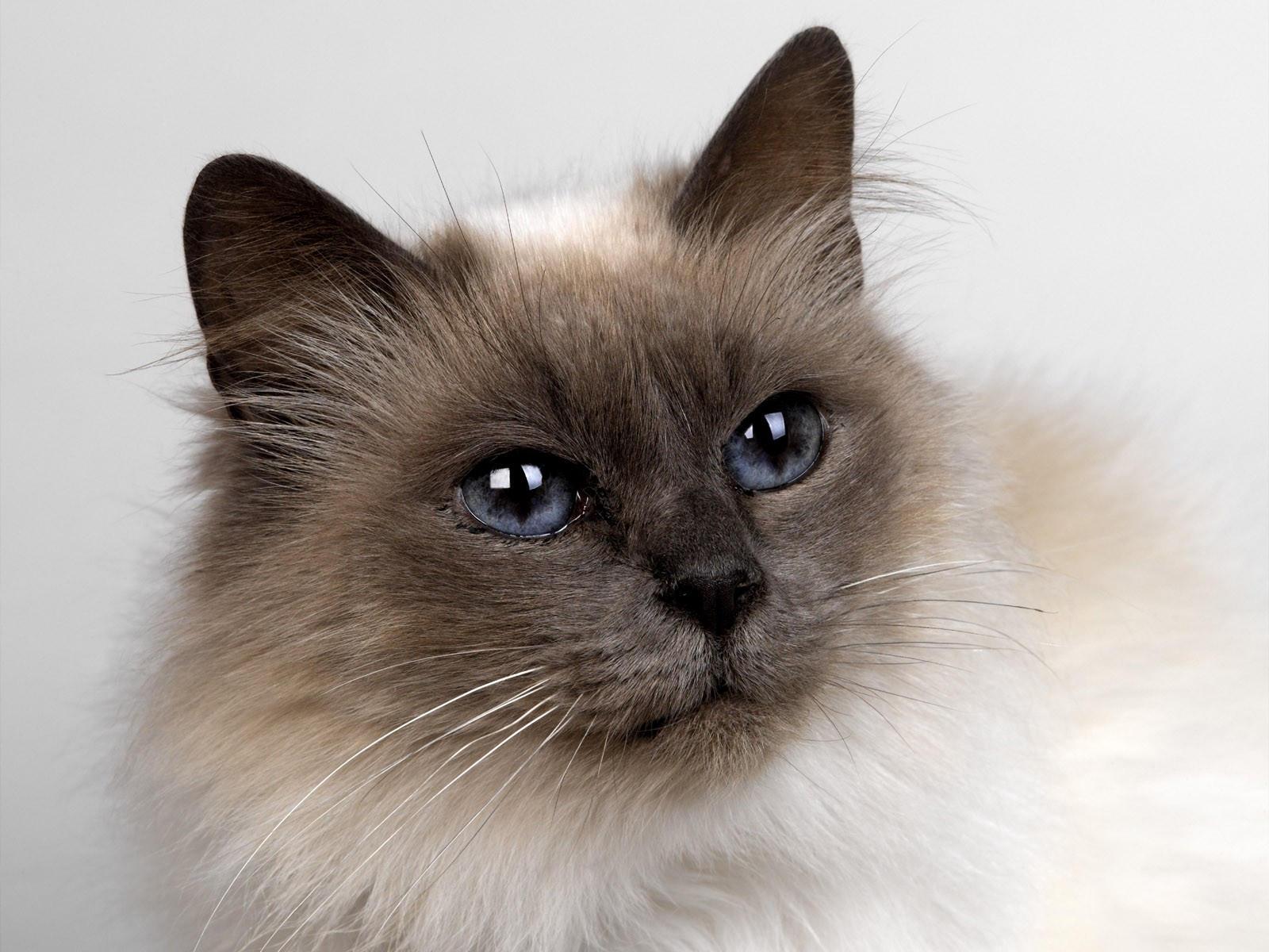 Мордочка породистой кошки