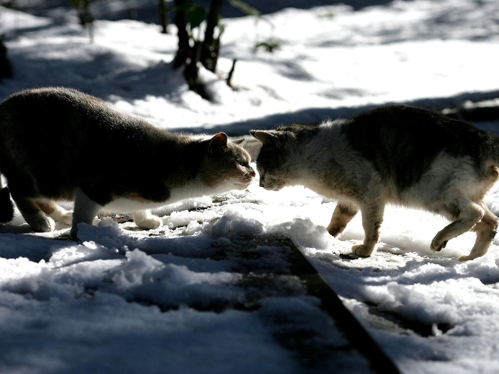 Кошки знакомятся на улице зимой