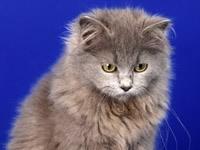Обои Серый пушистый кот.  Кошечка Daisy / Дейзи на книжной полке, фотограф Ben Torode.