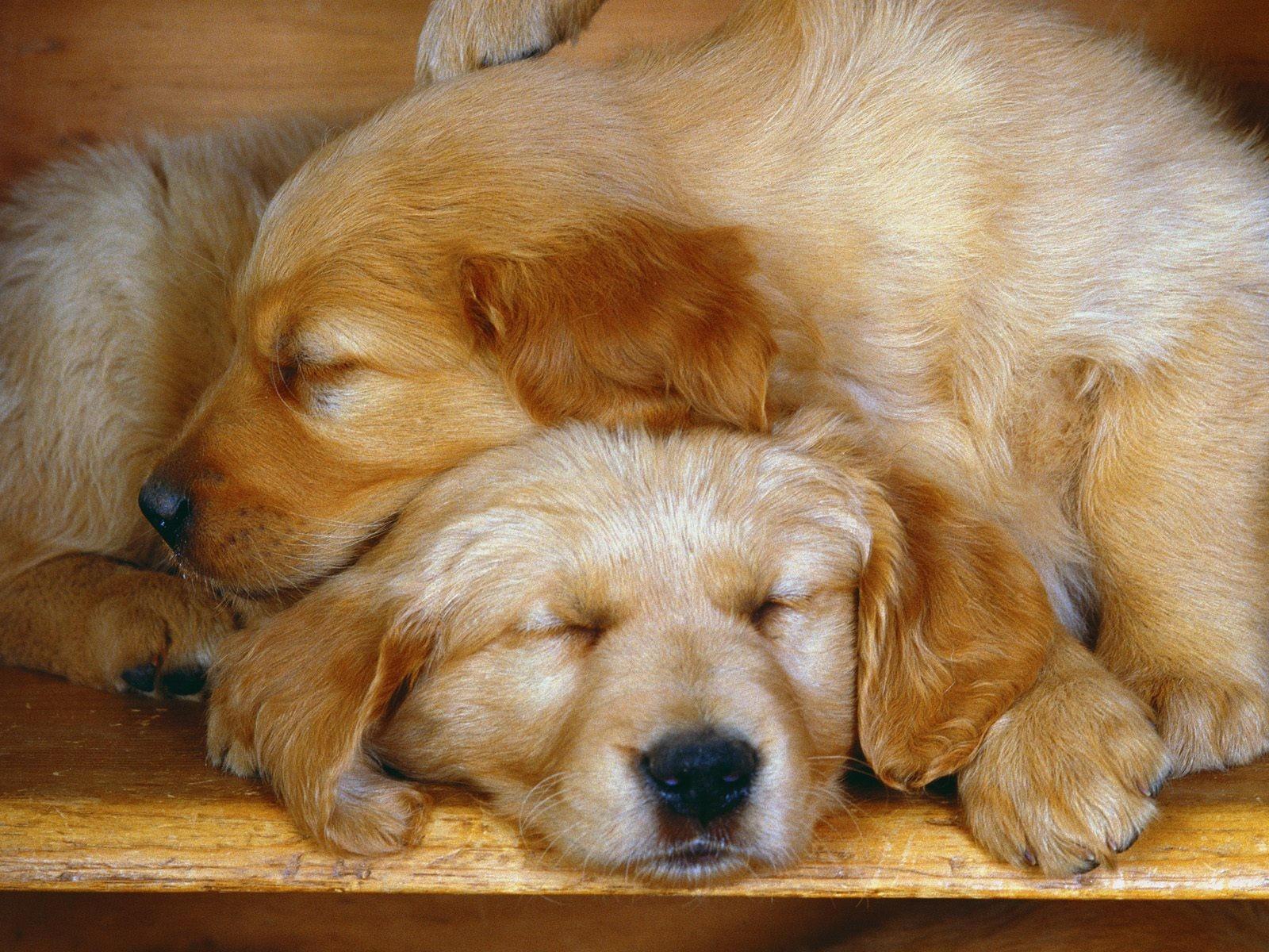Сон двух собак