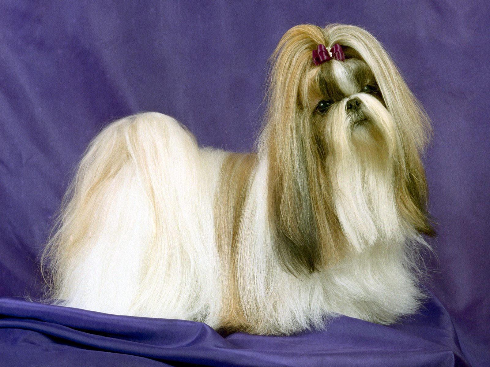 Собака породы Шит су