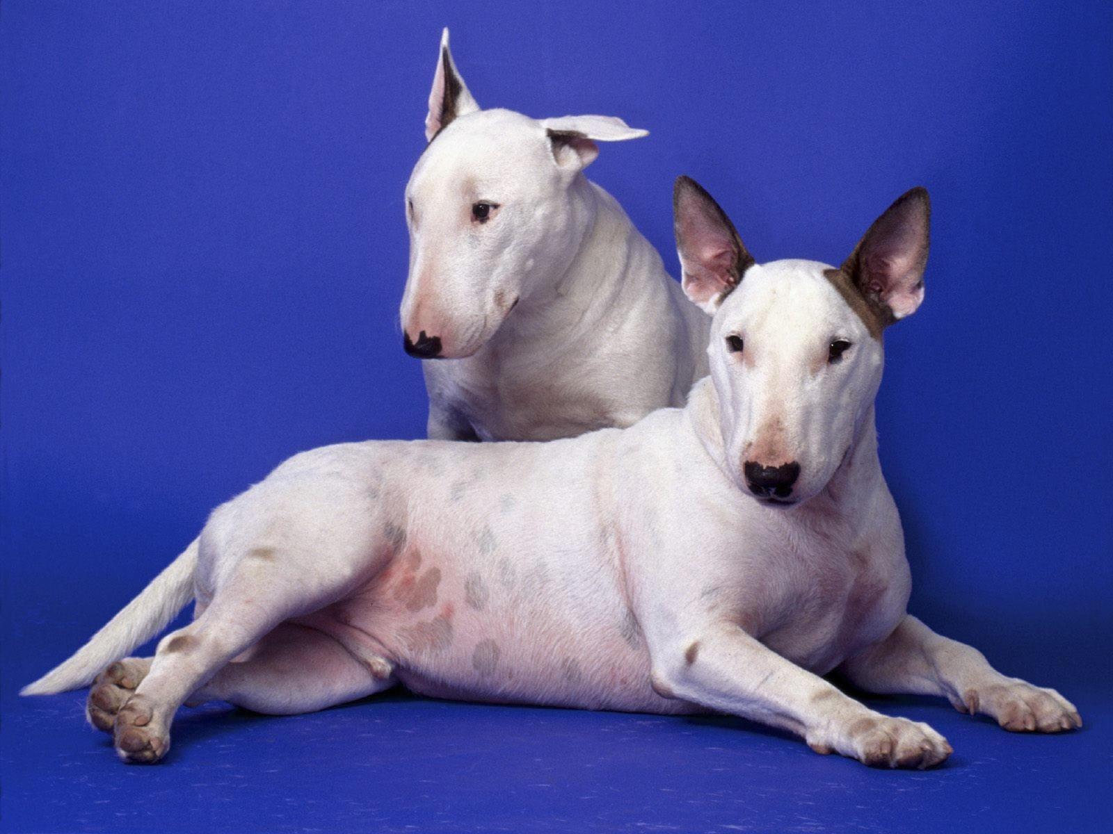 Два белых бультерьера