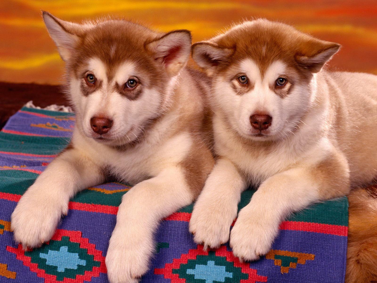 Две собаки породы аляска-маламут