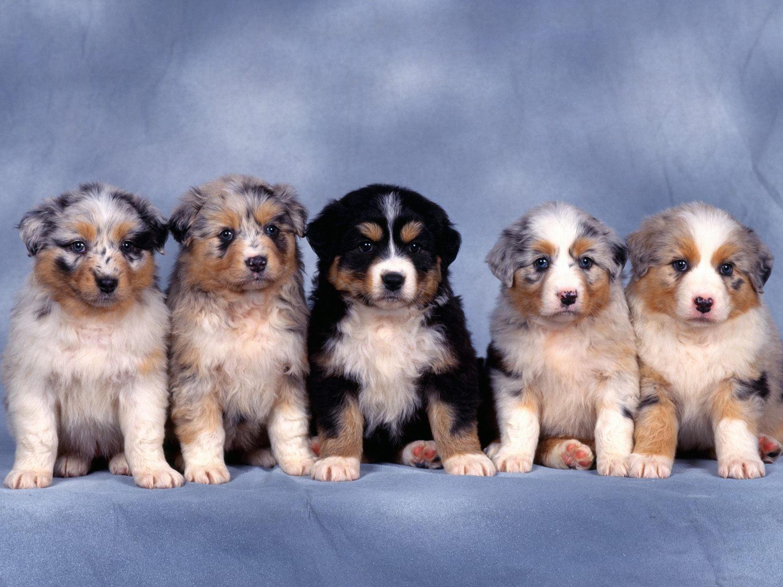 Пятеро щенков